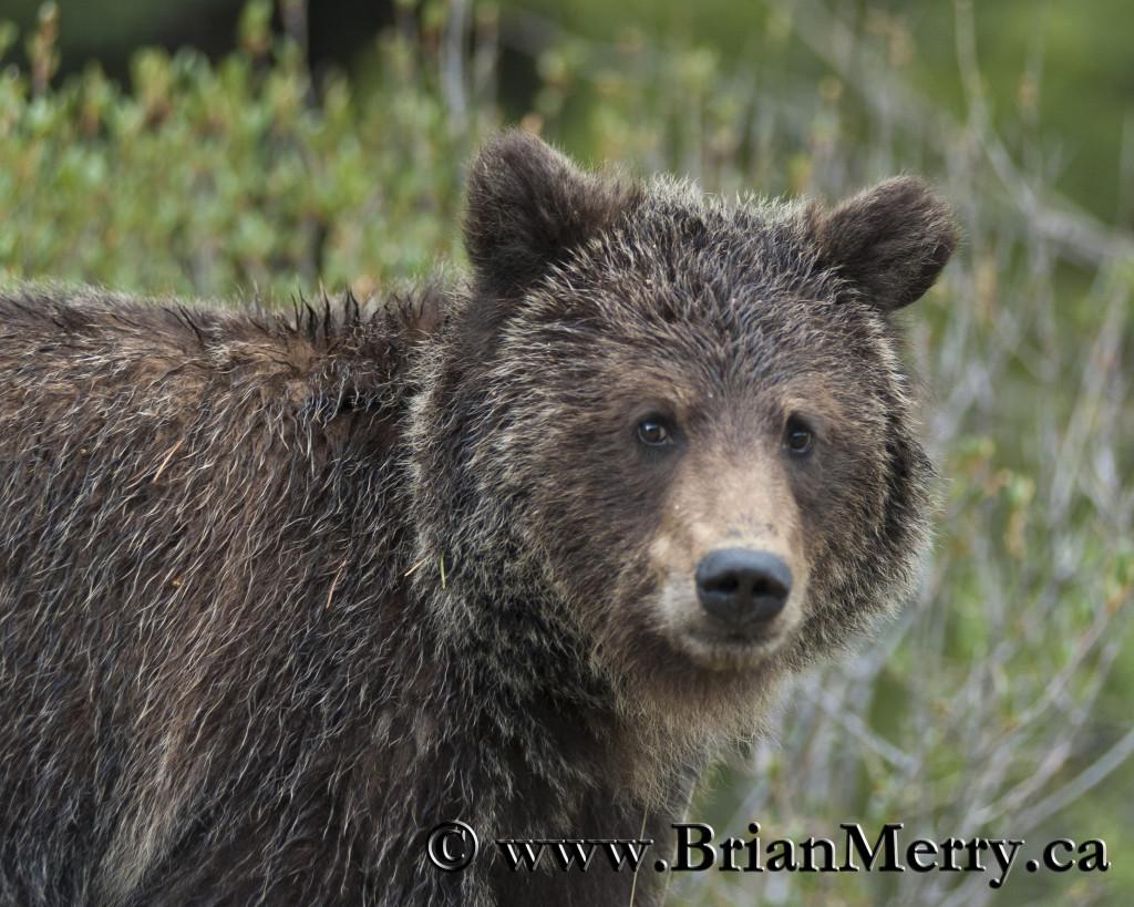 Banff Grizzly Bear