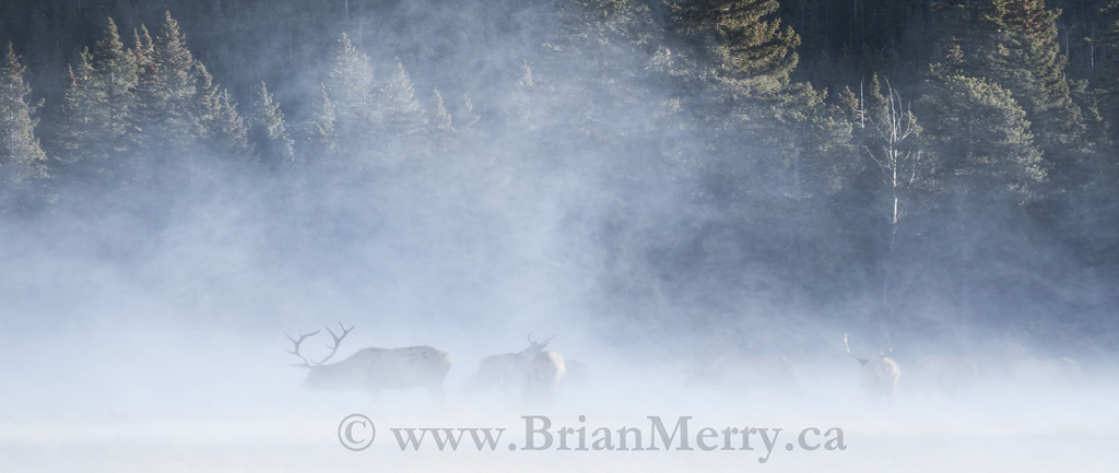 Elk in Winter Wind