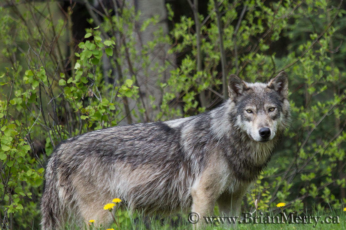 The Canadian Rockies Big Five Wildlife Photography
