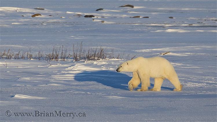 Polar Bear at Sunset in Churchill Manitoba